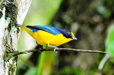 A kántokmadár (Euphonia violacea) a madarak osztályának verébalakúak (Passeriformes) rendjébe és a pintyfélék (Fringillidae) családjába tartozó faj..jpg (1024×677)