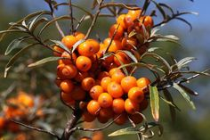 Sea Buckthorn Oil Supplements on the Markethttp://oilypedia.com/castor-oil-laxative-effect-given-by-nature/