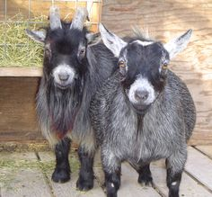More pygmy goats