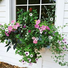 Full sun window box or container garden A Sweet potato vine Ipomoea batatas Blackie 1 B Licorice plant Helichrysum petiolare 1 C Petunia Carpet Lilac 2 D Verbena Aztec. Garden Cottage, Box Garden, Garden Ideas, Herb Garden, Hanging Baskets, Hanging Plants, Garden Inspiration, Container Gardening, Secret Gardens