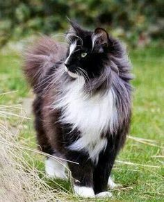 Gorgeous Black and white long haired cat