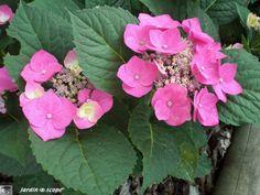 Un hortensia de jardin à fleurs plates virant au rose !
