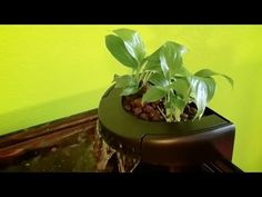 Turn Your Goldfish Tank Into An Aquaponics System! - YouTube