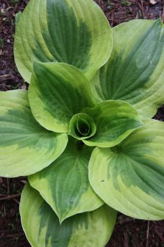 "This sport of Hosta 'Summer Breeze' (which was a sport of Hosta 'Summer Music') was discovered by Illinois's Mark Zilis. Hosta 'Summer Lovin' makes a dazzling 22"" tall x 50"" wide clump of corrugated dark green leaves (darker than its parent) surrounded by a wide golden border. For us, Hosta 'Summer Lovin' has shown exceptional garden vigor in our trials. To the delight of hummingbirds in early summer, the clumps are topped with 30"" tall scapes of light lavender flowers...stunning!"