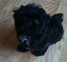 Black shih poo puppies teddy bear puppy shih tzu bichon frise love