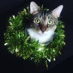 I like it that the wreath is the same color as my eyes! Barritt displaying some Christmas flair.  Submitted by: Ellie Ham #christmascat #whatcatsdo #holidaycat #cat #catloverforever #meow #catsofinstagram #instacat #catoftheday #catstagram #catlove