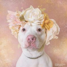 Sophie Gamand, award-winning photographer and animal advocate known for her work with shelter dogs. Author of Pit Bull Flower Power, a series of adoptable pit bulls wearing flower crowns. Beautiful Dogs, Animals Beautiful, I Love Dogs, Cute Dogs, Animals And Pets, Cute Animals, Pitbulls, Pit Bull Love, Animal Shelter