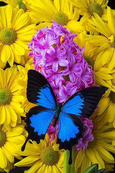 Butterfly Photograph - Blue Butterfly With Hyacinth by Garry Gay Butterfly Live, Butterfly Artwork, Butterfly Pictures, Butterfly Wallpaper, Butterfly Flowers, Beautiful Bugs, Beautiful Butterflies, Beautiful Flowers, Sunflowers And Daisies