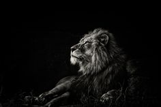Lions by Jason Armstrong, via Behance