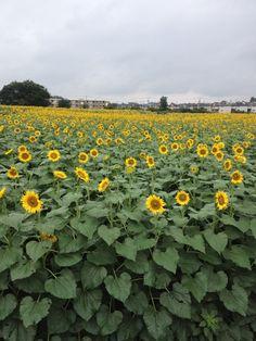 [August 2013] Sunflower field (Japanese language, 向日葵) in Kiyose city Tokyo, Japan.