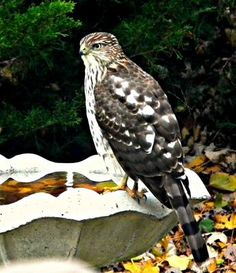 Waiting for dinner: There are no other birds in our garden when Coop is around looking for supper.