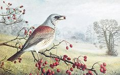 A fieldfare feeds on berries; painting by Raymond Booth,