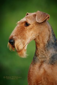 Portrait of a show groomed Airedale Terrier. Irish Terrier, Airedale Terrier, Fox Terrier, Dog Grooming Styles, Pet Grooming, Pet Dogs, Dogs And Puppies, Lakeland Terrier, Dog Leash