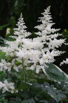 Another view of Bridal Veil Astilbe - Lacy foliage with white fragrant flowers that bloom in the summer. Astilbe will grow from tall and loves the shade and partial shade. Shade Perennials, Shade Plants, Herbaceous Perennials, Zone 4 Perennials, Shade Garden, Garden Plants, Beautiful Gardens, Beautiful Flowers, Shades Of Burgundy