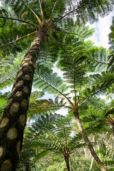 Flying spider monkey tree fern--Okinawa