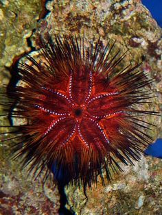 Red Urchin or False Fire Urchin (Astropyga radiata) found in tropical waters of the Indo-Pacific Under The Water, Under The Ocean, Sea And Ocean, Pacific Ocean, Underwater Creatures, Underwater Life, Ocean Creatures, Aquarium Photos, Beautiful Sea Creatures