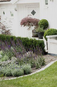 Blå och silver rabatt - Viktoria Skoglund Läget är direkt i söder så jag valde växter med torktålighet och med olika kontrasterande former. Här kommer växtlistan: Salvia nemorosa 'Caradonna' Ajuga reptans 'Braunhertz' Lavandula angustifolia 'Dwarf Blue' Salvia officinalis 'Purpurescens' ( halvhärdig, har dock klarat denna milda vinter. ) Hippophae rhamnoides 'Hikul' ( beskär den hårt för att få ett formklippt klot ) Hakonechloa macra ( har vuxit svagt, verkar ta tid på sig i rotningen.