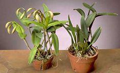 orchid beginner newbie culture