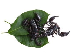 edible scorpions Edible Bugs & Edible Insects.. Real Bush tucker and grubs available to buy from www.edibleunique.com