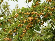 """Mirabelki wyklęto spośród """"wartościowych"""" owoców. Niesłusznie, bo zachowują wszelkie właściwości zdrowotne i odżywcze…"""