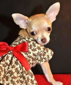 Catch me if you can. Teacup Chihuahua, Chihuahua Puppies, Bestest Friend, Mans Best Friend, Kittens And Puppies, Cats And Kittens, Dog Fashion, Dog Boarding, Chi Chi