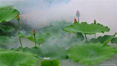 lotus leaves - Szukaj w Google Lotus Leaves, Plant Leaves, Water Lilies, Serenity, Earth, Contemporary, Tea Time, Garden, Flowers