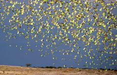 Budgies massing 40km south of Alice Springs. (Credit: Timothy Hill)Vast budgie flocks in Alice Springs - Australian Geographic  Read more via australiangeographic.com