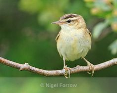 row of birds on a branch | Sedge Warbler perched on a branch at Otmoor - Sedge Warbler