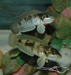 Lamprologus stappersi/meleagris - Pearly Ocellatus, Lake Tanganyika