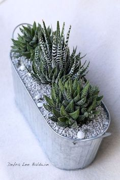 Green succulents in a tin. Cute for the window.