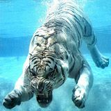 Odin, the white tiger that loves water