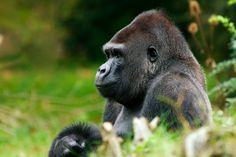 Gorillas And Potatoes Have Two More Chromosomes Than Humans Do.