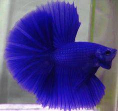 Royal blue hm!