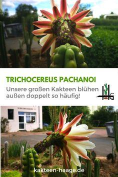 In der #Gärtnerei bei Kakteen-Haage in #Erfurt stehen die großen Kakteen im #Sommer draußen. Dadurch blühen sie mehr als doppelt so oft! <3 #kakteenhaage #haagelife #ulrichhaage #ilovecactus #blüte #flower