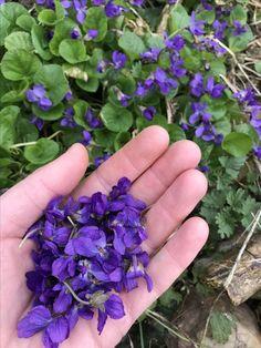 Viola odorata - fialka Vůně jara 💜 Herb Garden, Home And Garden, Vertical Vegetable Gardens, Medicinal Plants, Detox, Korn, Healing, Herbs, Homemade