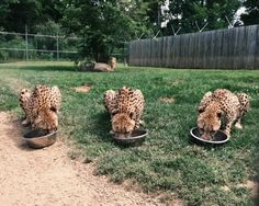 Work With Animals, Animals And Pets, Cute Animals, Wild Animals, Cute Creatures, Beautiful Creatures, Animals Beautiful, Cheetahs, African Animals