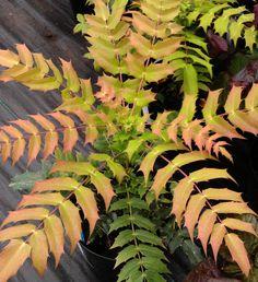 Mahonia x media 'Winter Sun', Oregon grape plants for sale, Urban Jungle.