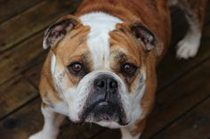 Lola the bulldog
