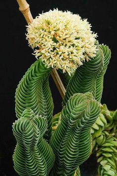 Crassula 'Buddha's Temple' is an ornament jewel that forms compact square shaped column with successive upward curving leaves reminding the roof of a Chinese pagoda. More information on site.