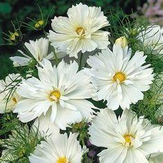 Psyche White cosmos seeds - Garden Seeds - Annual Flower Seeds