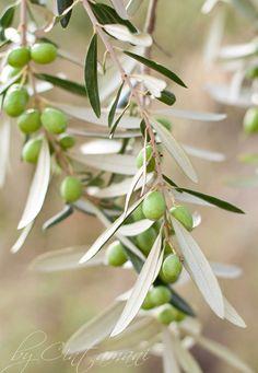Green Olives   Flickr - Photo Sharing!