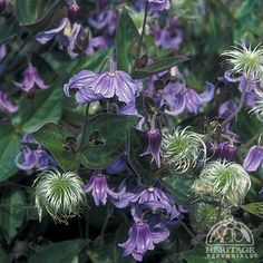 Clematis integrifolia, Solitary Clematis, forming bushy, upright plant suited to growing in the border. Need to be staked or to sprawl over a nearby shrub. Prune right back to the ground in spring. Full sun or part shade, slow grow. Cover for winter. Planting Vines, Garden Plants, Planting Flowers, Flowers Garden, Shade Garden, Mailbox Garden, Clematis Trellis, Clematis Montana, Gardens