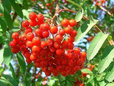 ★ Fresh Orange ★ ... Lingonberries ( Vaccinium Vitis-Idaea ) ... https://www.facebook.com/permalink.php?story_fbid=1581499862119258&id=100007777789106