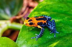 まさに、井の中の蛙大海を知らず。カエルは世界各地で生息する多様性のある生物だが、いま絶滅の危機に直面しているという。そのカエルを深く掘りさげるべく生物学者ティム・ハリデーは1冊の本「The book of Frogs」を発表した。