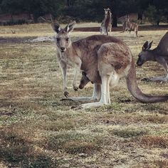 Wake up with the Roos at the Grampians National Park! The best place to catch a glimpse of a real life Joey in the wild. What a find! #Grampians #GrampiansNationalPark #kangaroo #wild #nature #hike #travel #joey #explore #visitvictoria #backpackerdeals #lifeofabackpacker #traveling #travelgram #discoveraustralia #australia #melbourne