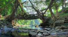 Root Bridges of Cherrapunji 500 year old trees form natural bridges in India. Amazingly, these trees are still year old trees form natural bridges in India. Amazingly, these trees are still alive. Beautiful World, Beautiful Places, Beautiful Flowers, 7 Natural Wonders, Travel Destinations In India, Old Bridges, Weird Plants, Natural Bridge, Old Trees