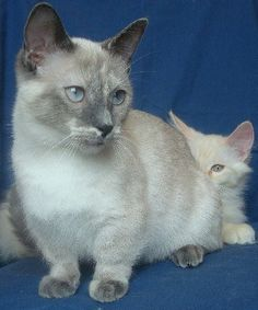 Easy Kitties Ultimate Guide to the 18 Most Popular Small Cat Breeds - Easy Kitties.com