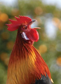 Rooster. #nature #photography