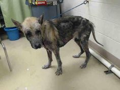 """5/8/17 TEXAS! Harris County ‼️ONLY 2! LOOKS SENIOR FROM NEGLECT‼️ SAMUEL-ID #A482933 -MALE-2-YR-NEGLECTED-GERMAN SHEP""""I Am A Male, Black & Brown German Shepherd Dog. The Shelter Staff Thinks I Am About 2-Years-Old. I Have Been At The Shelter Since May 5, 2017."""" HOUSTON, TEXAS 77076 PHONE: 1-(281)-999-3191"""