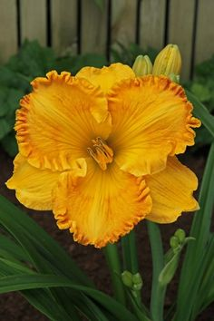 Large, flat orange - a sort of yellow-orange - flowers with ruffled edges are carried on thick stems above a clump of long, grass like leaves. Claire Austin, Bulb Flowers, Day Lilies, Nassau, Orange Flowers, Dream Garden, Garden Plants, Perennials, Planting Flowers